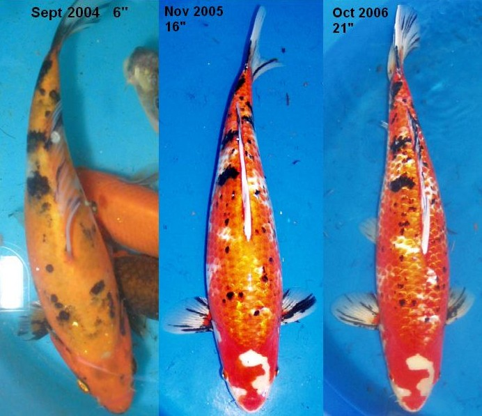 bickal koi farm koi growth