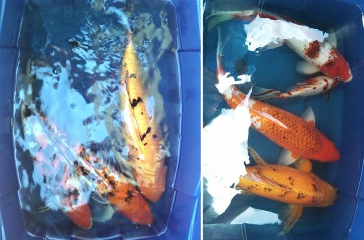 Bickal koi farm koi rescue adoptions for Koi fish farm near me